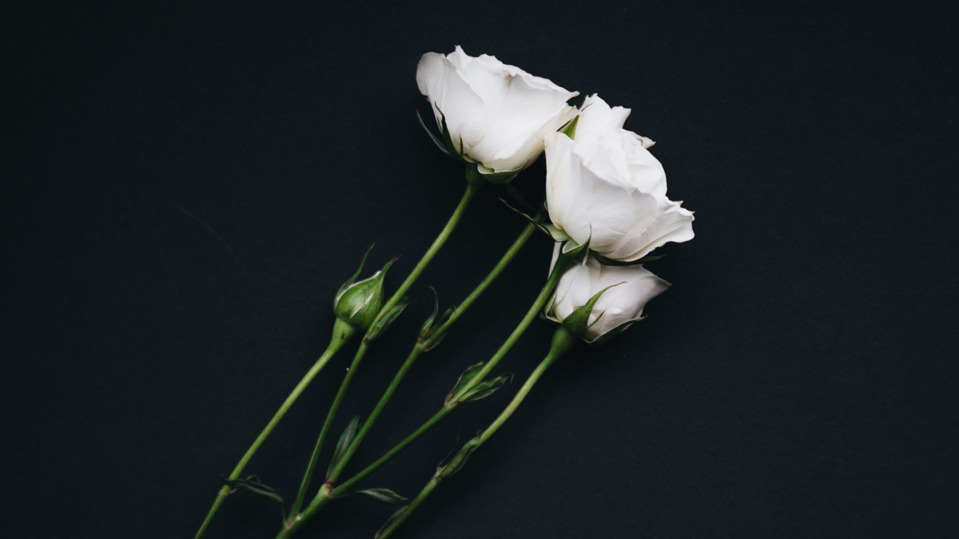 Hvide roser på sort baggrund