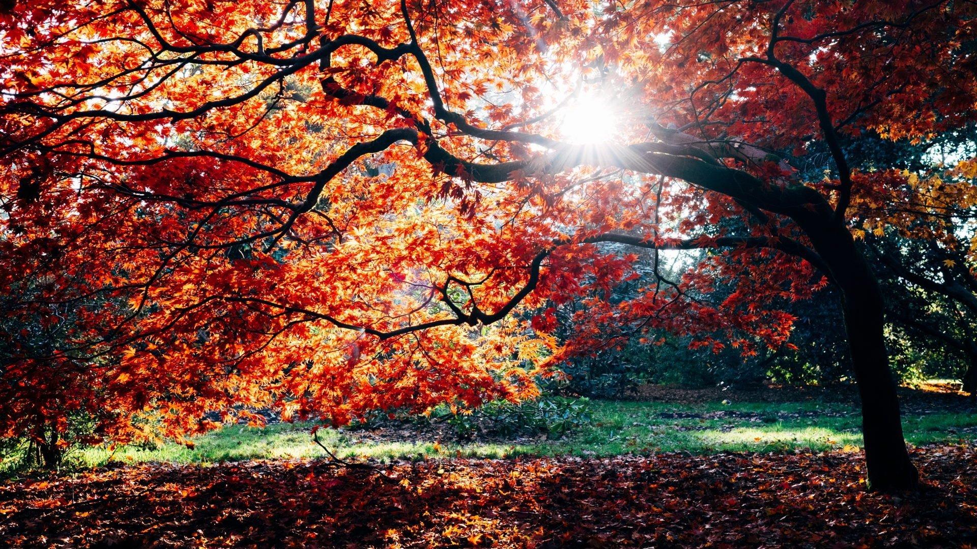 Træ med røde blade